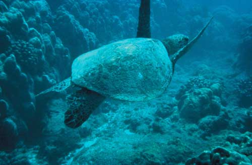 5-13-09/turtle-types-green-turtle.jpg